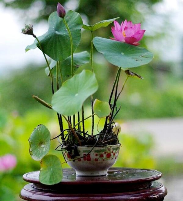 Bí mật về cách trồng sen mini trong nhà mà không phải ai cũng biết-1
