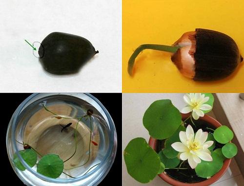 Bí mật về cách trồng sen mini trong nhà mà không phải ai cũng biết-2