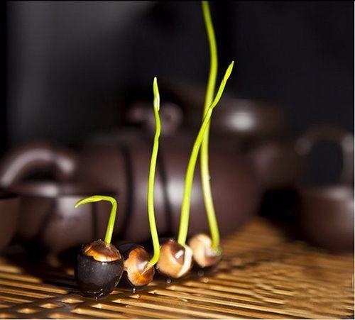 Bí mật về cách trồng sen mini trong nhà mà không phải ai cũng biết-3