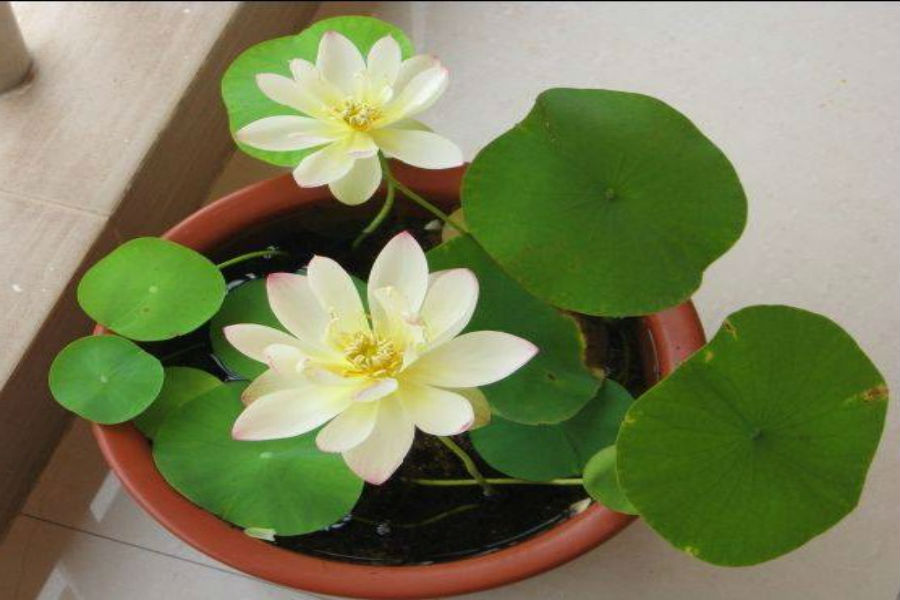 Bí mật về cách trồng sen mini trong nhà mà không phải ai cũng biết-4