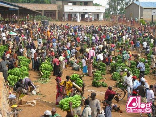 Số lượng chuối khổng lồ vào mùa thu hoạch