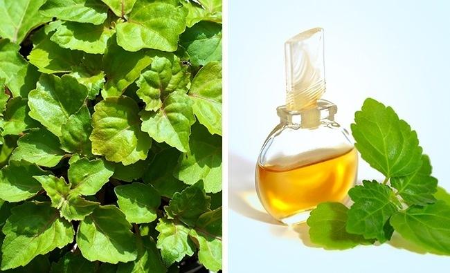 Đây là loại tinh dầu đắt tiền được sản xuất từ lá tươi hoặc lá khô của cây Patchouli. Dầu hoạt động như một chất khử trùng, kháng viêm, điều trị sốt, nhiễm nấm, thậm chí là sỏi thận. Hương thơm chống lại mùi cơ thể xấu.