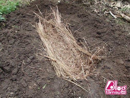 Cuối cùng họ sẽ ủ chúng dưới lòng đất và đậy cỏ khô lên bên trên