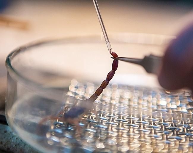 Protein trong nọc độc được sử dụng để điều trị các chứng bệnh như xơ cứng đa xơ cứng, viêm khớp dạng thấp và bệnh viêm ruột.