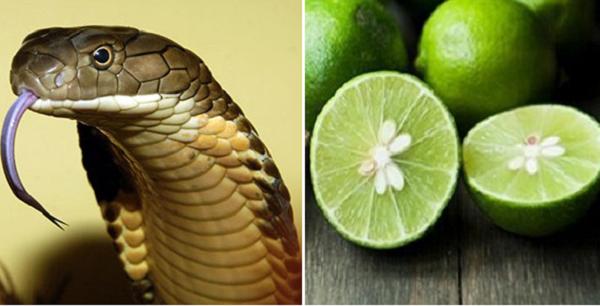 Hạt chanh: Bài thuốc quý cứu sống người bị rắn cắn chỉ trong vòng 1 phút