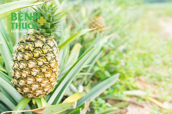 Lá dứa, đọt non dứa và rễ quả dứa cũng có tác dụng chữa được nhiều bệnh