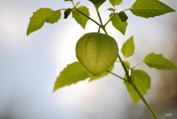 Rau tầm bóp là một loại rau dại nhưng rất sạch và tốt cho sức khỏe. (Ảnh: HL)
