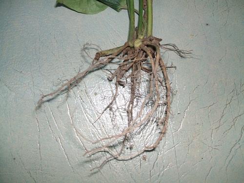 Lá lốt kèm rễ