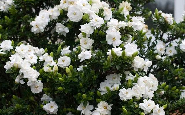 Sơn chi tử thường được biết đến với tên gọi khác là cây dành dành. (Nguồn ảnh: Internet).