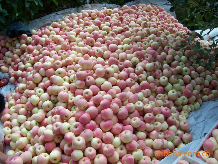 Mùa táo chín, Yên Đài đón rất nhiều thương lái các nơi về thu mua