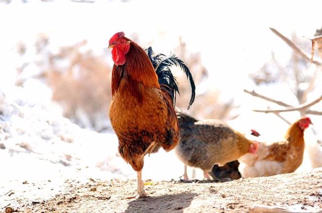 Kim kê độc lập là động tác gà vàngđứng một chânnổi tiếng kim cổ (Ảnh minh họa)