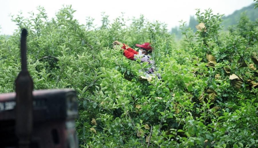 Nông dân Yên Đài, Sơn Đông, Trung Quốc bọc trái táo từ lúc còn non để cho dòng táo quả to, láng mượt và bán được giá.