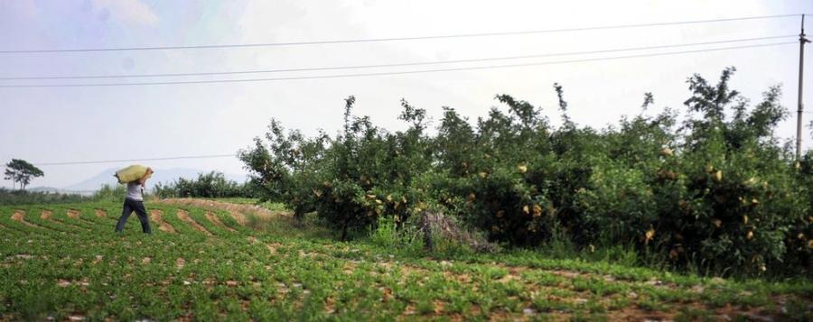 Vác cả tải bao thuốc sâu vào ruộng táo.