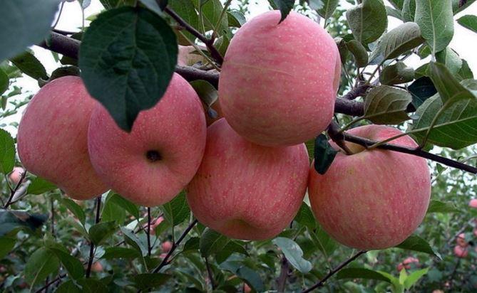 Những trái táo Yên Đài nổi tiếng khi chín rất đẹp mã, trên vỏ có một lớp phấn trắng không loại trừ có chứa thứ bột thuốc trừ sâu từ vỏ bao.