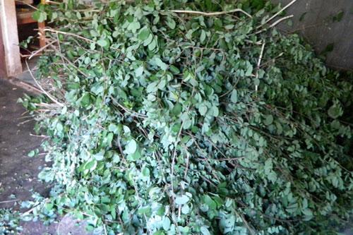 Cây thuốc chị Dung trực tiếp lên rừng hái về