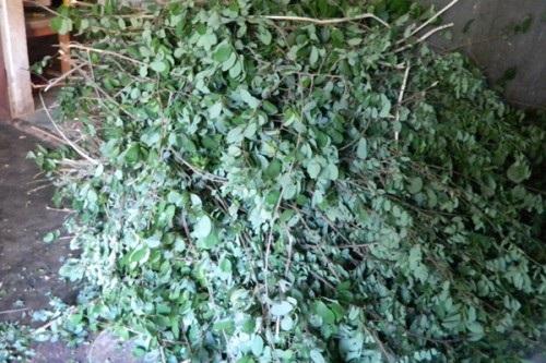 Cây thuốc chị Dung trực tiếp lên rừng hái về.